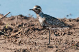 Changing American Golden Plover