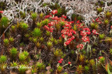British Soldiers (Lichen) Among Mosses