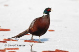 Male Ring-Neck Pheasant at Ithaca Game Farm .
