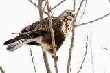 Rough-Legged Hawk3