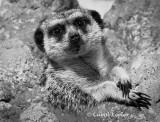 Meerkat- Just Hangin Out