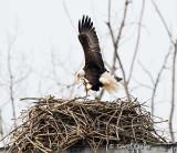 Gallery:Bald Eagles