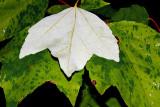 Leaves in Gentle Rain