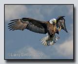 AMERICAN BALD EAGLE IMG_0001