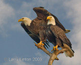 AMERICAN BALD EAGLE PAIR IMG_0001