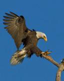 AMERICAN BALD EAGLE IMG_0028