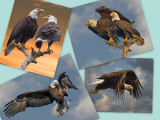 EAGLE COLLAGE 2