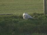 Sneeuwuil / Snowy Owl