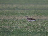 Kleine Trap / Little Bustard