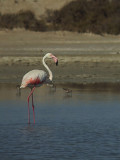 Flamingo / Greater Flamingo