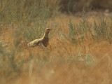 Witbuikzandhoen / Pin-tailed Sandgrouse