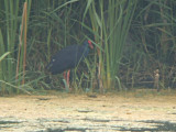 Purperkoet / Purple Swamphen