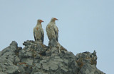 Aasgier / Egyptian Vulture