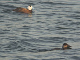 Witkopeend / White-headed Duck