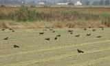 Zwarte Wouw / Black Kite