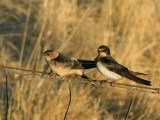 Roodstuitzwaluw / Red-rumped Swallow