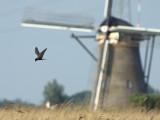 Zwarte stern / Black Tern