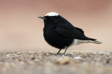 Witkruintapuit / White-crowned Wheatear