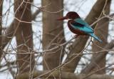 Smyrnaijsvogel / White-breasted Kingfisher