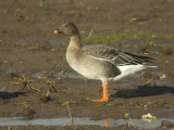 Toendrarietgans / Tundra Beane Goose