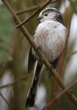 Staartmees / Long-tailed Tit