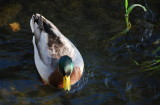 Have a drop Mr Duck