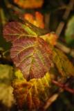Briar Leaf