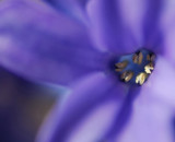Scented blue