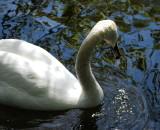 Shadowy swan