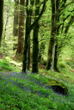 Looking for bluebells