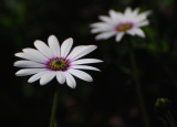 Daisies on the double