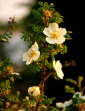 Dog Roses with bee
