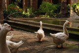 Catedral Geese