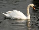 I saw a swan .........