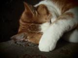 Sleeping puss