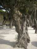 Old cork trees