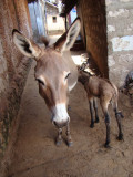 1 day old donkey colt and mama