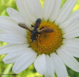 Parasitic fly (Cylindromyia interrupta)