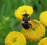 Parasitic fly (Gymnosoma sp.)