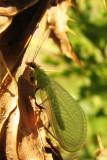 Green lacewing (Chrysoperla)