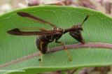 Mantidfly (Climaciella brunnea)