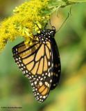 Monarch Butterflies (Family: Nymphalidae; Sub-family Danainae)