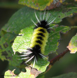 Spotted tussock moth caterpillar (Lophocampa maculata), #8214