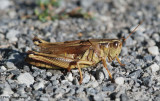 Two-striped grasshopper (Melanoplus bivitattus)