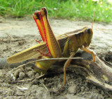 Two-striped grasshopper (Melanoplus bivittatus) ovipositing