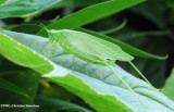 Katydid (Scudderia sp.) female