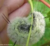 American dagger moth caterpillar (Acronicta americana), #9200