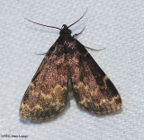 Litter Moths (Family: Erebidae; Subfamily Herminiinae)  8322 to 8397