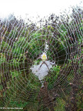 Banded argiope (Argiope trifasciata) in web
