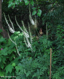 Black snakeroot  (Sanicula marilandica)